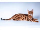 Логотип Питомник бенгальских кошек BRIAM*RU